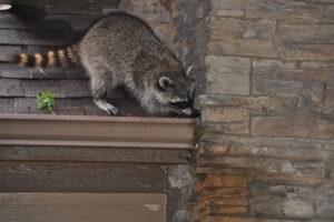 E-news-Mar1-raccoon