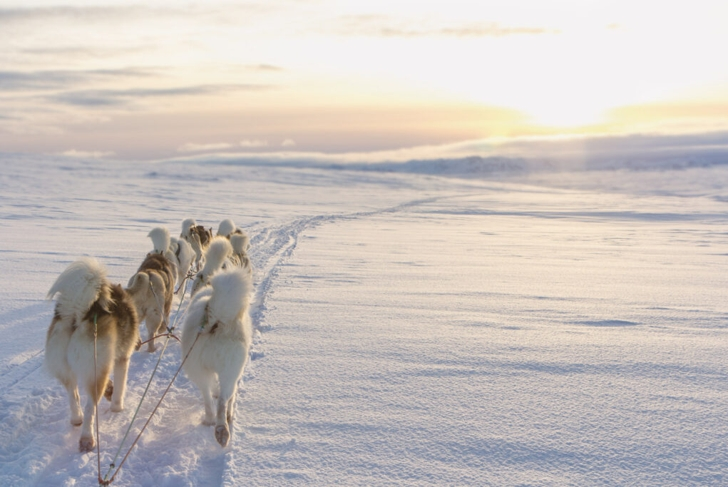 Sled-dogs