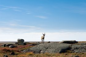Saving What's Left of the Caribou