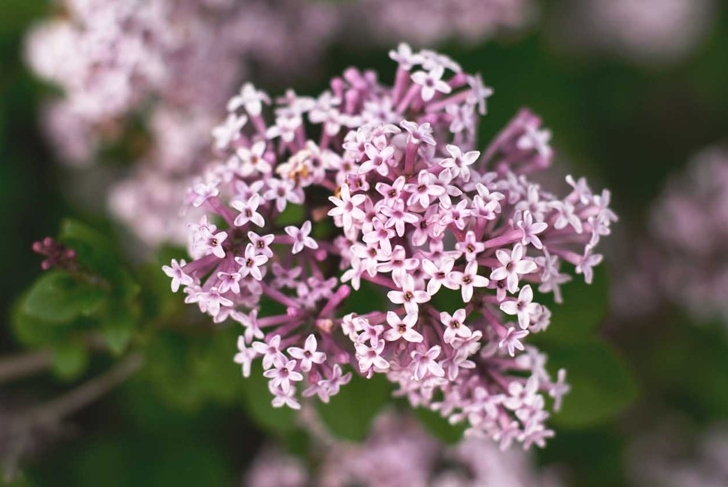 a close up of a Valerian plant in the spring