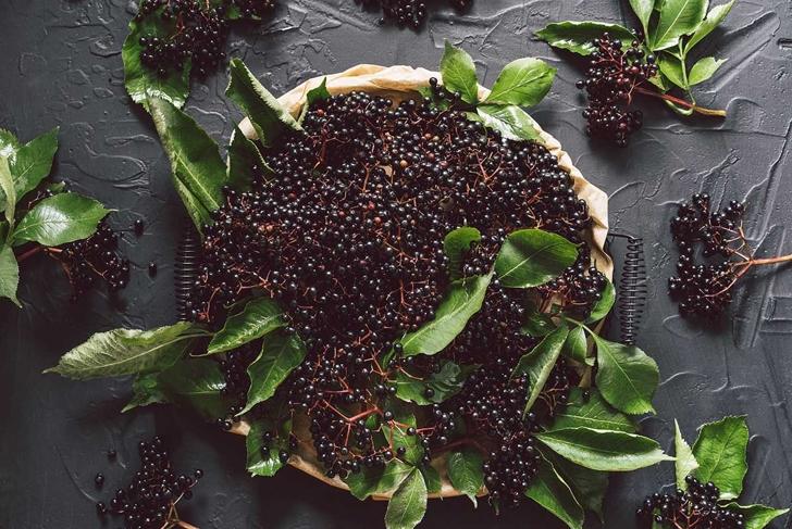 Fruit black elderberry on a dark background. (Sambucus nigra). European black elderberry background.
