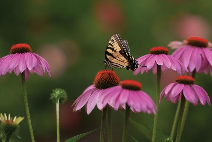 Echinacea For Children