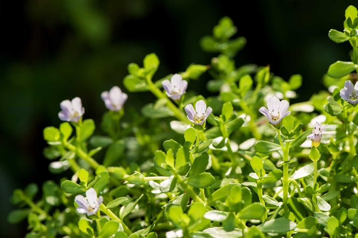 """Bacopa monnieri, herb Bacopa is a medicinal herb used in Ayurveda, where it is also known as """"Brahmi"""", a herbal memory. Can slow the deterioration of brain cells."""