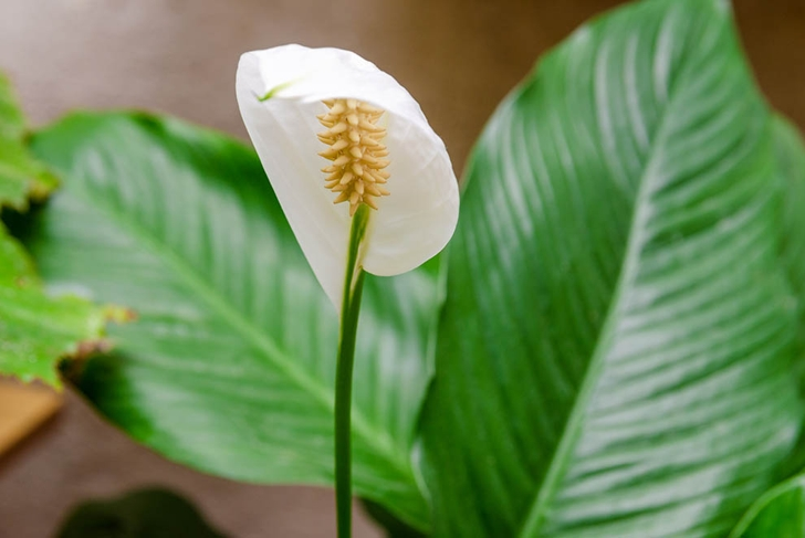 Close-up of one petal of a White flower called Peace Lilly against a background of green leaves (Spathiphyllum cochlearispathum, Spathiphyllum wallisii). Female happiness