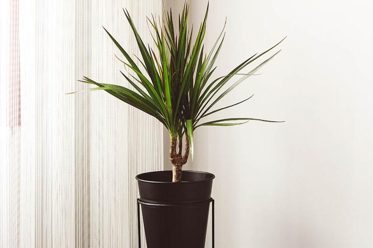 Green dracaena marginata in black flowerpot. Home decoration
