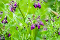 What is Comfrey? 10 Things to Know About This Powerful Plant
