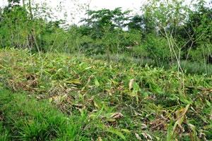 Harvested turmeric field