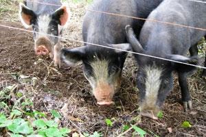Three not-so-little pigs