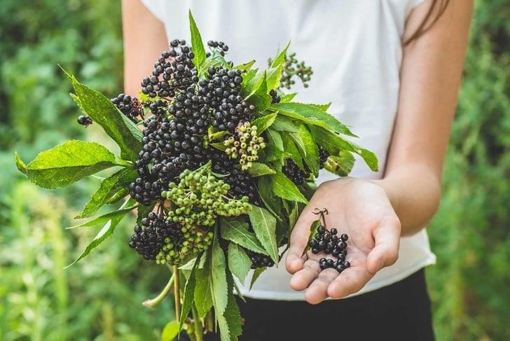 Elderberry Benefits Immune Health and More
