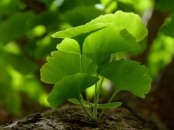 Your Guide to Ginkgo