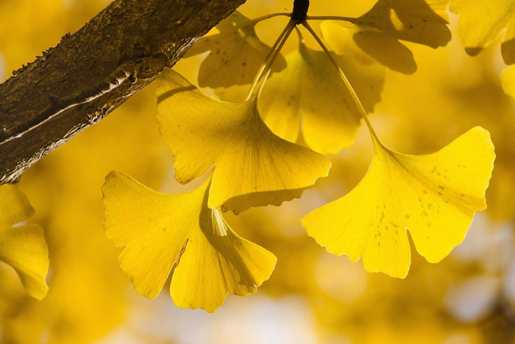 Yellow Ginko Biloba leaves on the branch