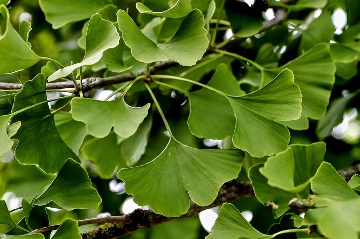 Leaves of the medicinal plant Gingko on a Gingko tree in summer, Gingko biloba