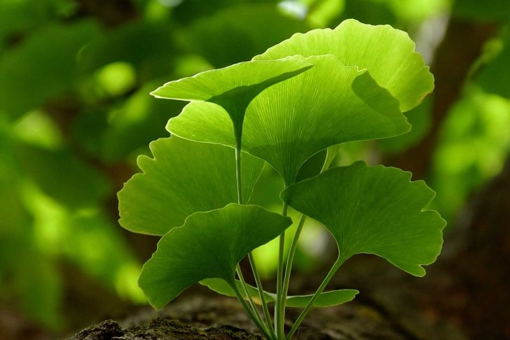 Selective focus of Ginkgo Biloba tree leaves & twig closeup. Beautiful bright yellow green leaves with soft blurry background. Represents herbal medicine concept, Natural medicine & homeopate concept