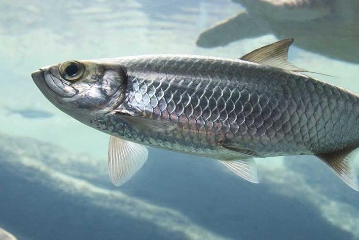 Silver Atlantic herring fish swimming in clear sea water