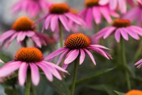 10 Health Benefits of Echinacea