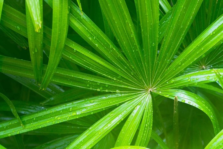green leave of saw palmetto with water drop on it.